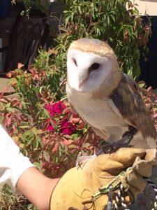 The barn owl who thinks he's human